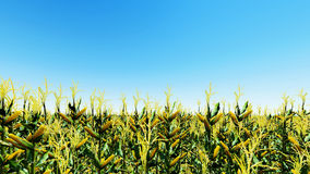 Кукурузное поле с голубым небом 3D представляет Стоковое фото RF