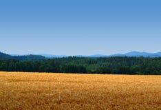 Кукурузное поле с лесами и небом Стоковые Фото