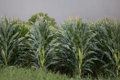Кукурузное поле Техаса Стоковые Изображения RF