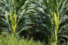 Кукурузное поле Техаса Стоковая Фотография RF