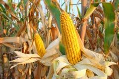 Кукурузное поле Стоковые Изображения