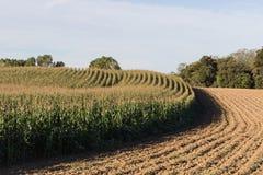 Кукурузное поле Стоковая Фотография