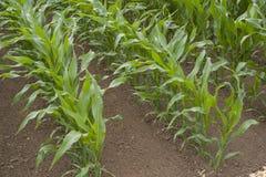 Кукурузное поле Стоковые Фотографии RF