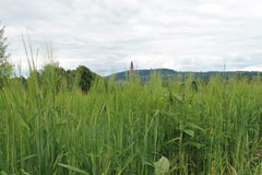 Кукурузное поле (2) Стоковое фото RF