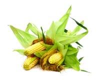 Кукурузные початки Стоковая Фотография