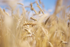 Кукурузные початки Стоковая Фотография RF