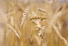 Кукурузные початки Стоковое Изображение RF