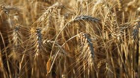 Кукурузные початки Стоковые Фото