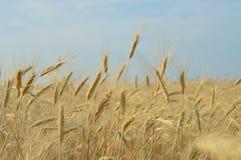 Кукурузные початки Стоковые Изображения