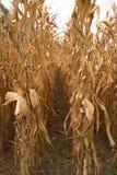 Кукурузные поля готовые для сбора Стоковые Фотографии RF