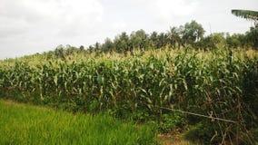 Кукурузные поля, западный Вьетнам Стоковая Фотография