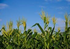 Кукурузные поля с голубым небом Стоковая Фотография RF