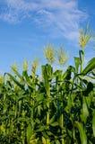 Кукурузные поля с голубым небом Стоковые Изображения RF