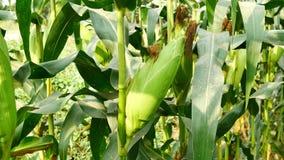 Кукурузный початок готовый для сбора, кукурузного поля, фермы мозоли Аграрная концепция, аграрная концепция индустрии видеоматериал