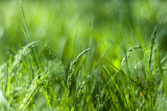Кукурузный початок на предпосылке травы Стоковое Изображение