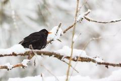 Кукушка в лесе зимы Стоковое Изображение