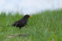 Кукушка в траве Стоковые Изображения RF