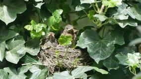 Кукушка гнезда сток-видео