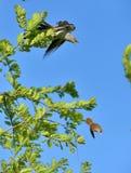 Кукушка и певчая птица тростника Стоковые Изображения