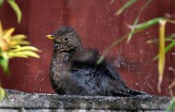 Кукушка купая в ванне птицы сада Стоковое Фото