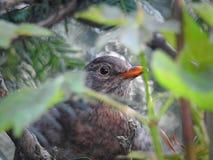 Кукушка младенца великобританская пряча в дереве Стоковая Фотография RF