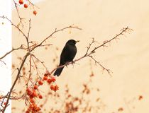 Кукушка на вишневом дереве Стоковое фото RF