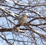 Кукушка на дереве в зиме Стоковые Изображения RF