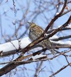 Кукушка на дереве в зиме Стоковые Изображения