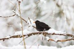 Кукушка на древесинах снежных зимы стоковые фото