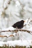 Кукушка на снежной ветви дерева Стоковое Изображение