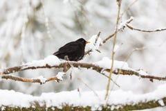 Кукушка на снежной ветви Стоковые Фото