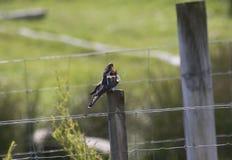 Кукушка певчей птицы Reed подавая, портрет Стоковое Изображение RF