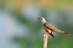 кукушка птицы жалобная Стоковые Фото