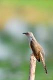 кукушка птицы жалобная Стоковое Изображение RF