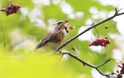 Кукушка птицы сидя в парке среди зеленых листвы и золы Стоковые Фотографии RF