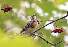 Кукушка птицы сидя в парке среди зеленых листвы и золы Стоковые Фото