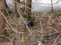 Кукушка птицы Стоковое Изображение RF