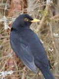 Кукушка птицы Стоковое фото RF