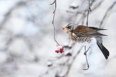Кукушка сидя в парке в зиме и ест замороженную рябину красного цвета плодоовощей Стоковое фото RF