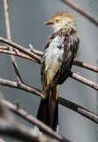 Кукушка Guira (guira Guira) Стоковое фото RF