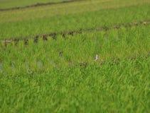 Кулик в полях риса Стоковая Фотография RF