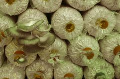Культивирование гриба: фея гриба Стоковая Фотография RF