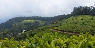 Культивирование чая в горах стоковые изображения rf