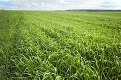 культивируемая предпосылкой пшеница земли зеленого цвета травы Стоковое Изображение RF