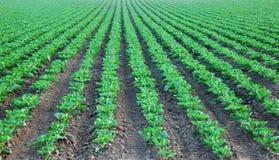 культивируемый collard зеленый цвет поля Стоковое Изображение RF