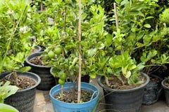 Культивируйте дерево бергамота в пластичном баке Рынок дерева Сельское хозяйство Стоковое фото RF