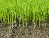 культивируйте детенышей риса Стоковые Фотографии RF