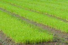 культивируйте детенышей риса Стоковые Фото