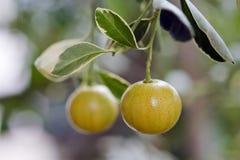 Кумкваты или cumquats, плодоовощ ogininating в азиате стоковое изображение