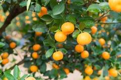 Кумкват, символ въетнамского лунного Нового Года В почти каждом домочадце, критические приобретения для Tet включают персик и kum Стоковые Изображения